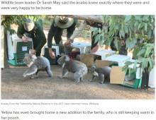 【海外発!Breaking News】豪の森林火災を経て5匹のコアラが半年ぶりに住処に お腹には新しい命も