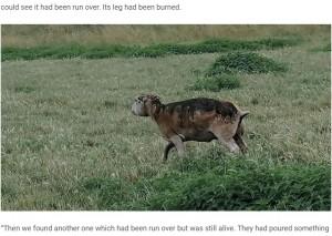 背中を焼かれてしまった羊(画像は『Farmers Weekly 2020年7月21日付「Farmer distraught after sheep burned in 'horrific' attack」』のスクリーンショット)