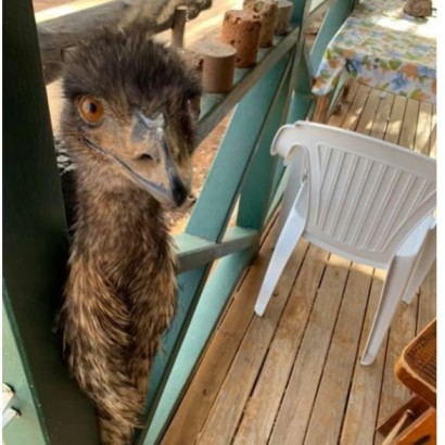 【海外発!Breaking News】地元で親しまれたエミュー、パブで食べ物を盗み「マナーが悪すぎる」と出入り禁止に(豪)