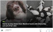 【海外発!Breaking News】盗まれた犬の親子、母犬は首のマイクロチップを抜き取られ路上に放置(アイルランド)