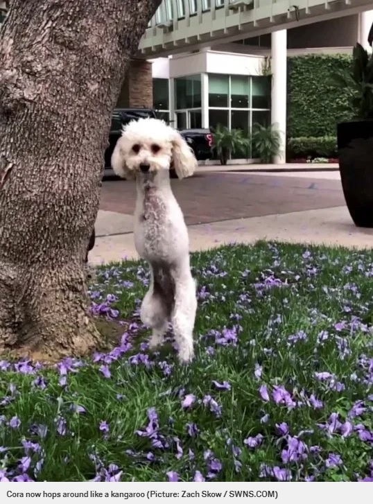 カンガルーのように後ろ足で跳ねるコーラ(画像は『Metro 2020年7月22日付「Adorable poodle who was abandoned with broken legs now hops around like a kangaroo」(Picture: Zach Skow / SWNS.COM)』のスクリーンショット)