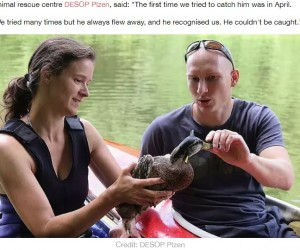 【海外発!Breaking News】3か月もクロスボウの矢が刺さったまま生きていたカモ 捕獲に成功(チェコ)