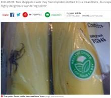 【海外発!Breaking News】スーパーで購入したバナナに毒クモが混入 世界で最も毒の強いクモの恐れ(英)