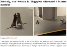 【海外発!Breaking News】「敗者は餌に?」大喧嘩をする2匹のネズミと背後から様子を窺う猫(シンガポール)<動画あり>
