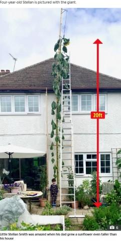 【海外発!Breaking News】「家と同じくらいの高さのヒマワリを育てて!」息子のお願いに奮闘した父親、6メートル超に(英)