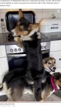 【海外発!Breaking News】3頭が見事なチームワーク! 背中に乗ってキッチンの残り物を食べる犬(ノルウェー)<動画あり>