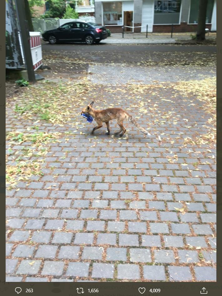 青いサンダルをくわえたキツネ(画像は『Felix Hackenbruch 2020年7月26日付Twitter「Fuchs, Du hast die Schuh gestohlen..」』のスクリーンショット)