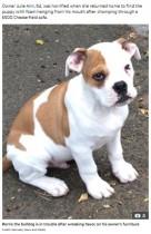 【海外発!Breaking News】ブルドッグの子犬、2台のソファーや衣類を引き裂く「とても良い子だったのに突然野生児に」(英)