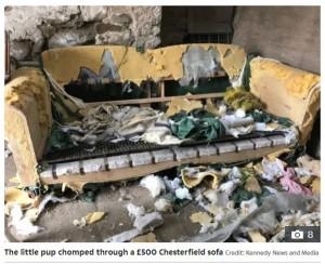 豪華なチェスターフィールド・ソファーがボロボロに(画像は『The Sun 2020年8月5日付「IN THE DOGHOUSE Puppy chomps through £1,500 worth of clothing and furniture - including two sofas」(Credit: Kennedy News and Media)』のスクリーンショット)