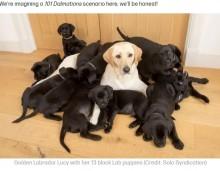 【海外発!Breaking News】イエローのラブラドール・レトリバー、誕生した子犬13匹は全てブラックに(英)