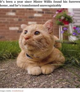1年経ちすっかり変わったブルース(画像は『Bored Panda 2020年8月28日付「After Convincing Landlord, Woman Brings The Saddest Stray Cat Home, A Year Later, He's Unrecognizable」(Image credits: mrwillisthecat)』のスクリーンショット)