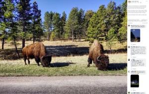 巨大な頭とたくましい肩の筋肉を持つアメリカンバイソン(画像は『Custer State Park 2020年8月7日付「As the rut is winding down in Custer State Park, the mature bulls are dispersing from the larger herds and often travel using the highways.」』のスクリーンショット)