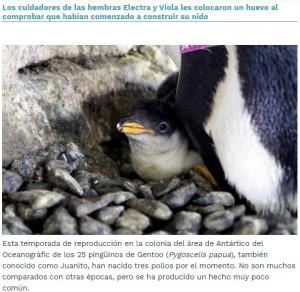 親ペンギンが作った小石の巣でくつろぐ赤ちゃん(画像は『Oceanogràfic de València 2020年8月17日付「Dos pingüinos hembras incuban un huevo de otra pareja y logran criar un pollo en el Oceanogràfic」』のスクリーンショット)