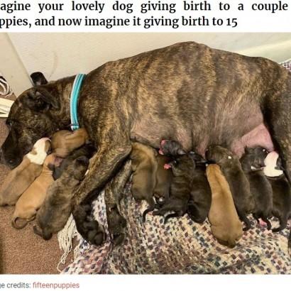 【海外発!Breaking News】保護した野良犬、居間で15匹の子犬を産む 分娩は11時間(米)<動画あり>