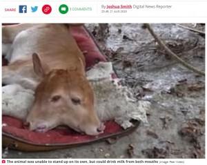 【海外発!Breaking News】2つの頭を持つ子牛が誕生 両方の口からミルクを飲み健康に育つ(中国)<動画あり>