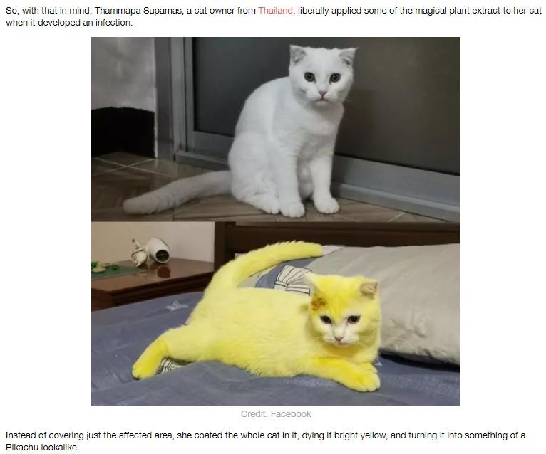 """真っ白だった""""Ka-Pwong""""がターメリックで真っ黄色に(画像は『LADbible 2020年8月26日付「Woman Accidentally Dyes Cat Yellow After Applying Turmeric Treatment」(Credit: Facebook)』のスクリーンショット)"""