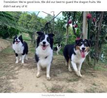 【海外発!Breaking News】収穫物を守るはずが…ドラゴンフルーツを食べてしまった4頭の犬(台湾)