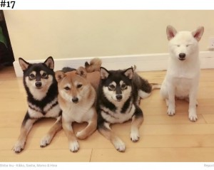 幼い頃からヒナは反抗?(画像は『Bored Panda 2020年9月10日付「'We All Have This Friend': Shiba Inu Goes Viral For Constantly Ruining Group Pics」(Shiba Inu - Kikko, Sasha, Momo & Hina)』のスクリーンショット)