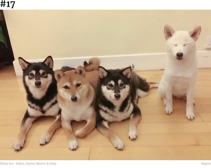 幼い頃からヒナは反抗?(画像は『Bored Panda 2020年9月10日付「'We All Have This Friend': Shiba Inu Goes Viral For Constantly Ruining Group Pics」(Shiba Inu - Kikko, Sasha, Momo & Hina)』のスクリーンショット)
