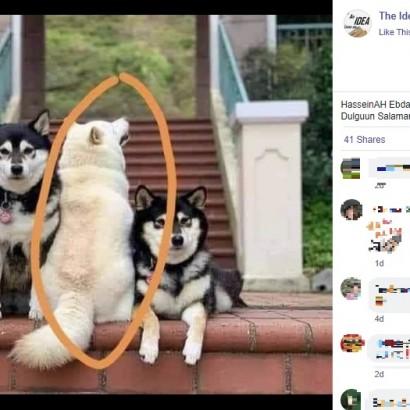 【海外発!Breaking News】集合写真でいつも1頭だけ和を乱す柴犬 「あの子は女優なの」と飼い主(香港)