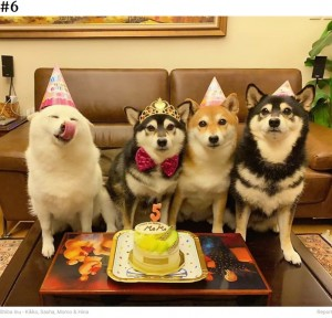 早くケーキが食べたいの?(画像は『Bored Panda 2020年9月10日付「'We All Have This Friend': Shiba Inu Goes Viral For Constantly Ruining Group Pics」(Shiba Inu - Kikko, Sasha, Momo & Hina)』のスクリーンショット)