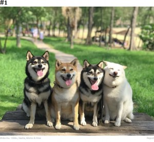 笑顔を見せる柴犬たち(画像は『Bored Panda 2020年9月10日付「'We All Have This Friend': Shiba Inu Goes Viral For Constantly Ruining Group Pics」(Shiba Inu - Kikko, Sasha, Momo & Hina)』のスクリーンショット)