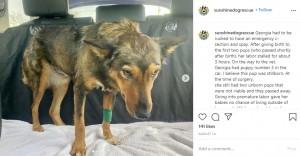 赤ちゃんを失って悲しむジョージア(画像は『Sunshine Dog Rescue 2020年8月14日付Instagram「Georgia had to be rushed to have an emergency c-section and spay.」』のスクリーンショット)