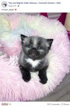 【海外発!Breaking News】生後1日、体重82グラムで保護された銀色の子猫に新しい家族(カナダ)<動画あり>