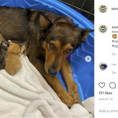 【海外発!Breaking News】出産時に赤ちゃん5匹を亡くした母犬、孤児の子猫のママ代わりに(米)<動画あり>