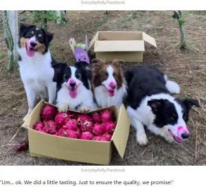 ドラゴンフルーツを食べてしまったのがバレバレの(左から)ケイラ、ケリー、ラファエル、モコ(画像は『9GAG  2020年9月4日付「Dogs Went Harvesting With Owner, Couldn't Resist The Fruit's Calling」(EverydayKelly/Facebook)』のスクリーンショット)