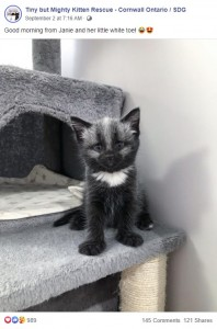 ずいぶんしっかりとしたジャニー(画像は『Tiny but Mighty Kitten Rescue - Cornwall Ontario / SDG 2020年9月2日付Facebook「Good morning from Janie and her little white toe!」』のスクリーンショット)