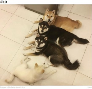 カメラを見て~(画像は『Bored Panda 2020年9月10日付「'We All Have This Friend': Shiba Inu Goes Viral For Constantly Ruining Group Pics」(Shiba Inu - Kikko, Sasha, Momo & Hina)』のスクリーンショット)