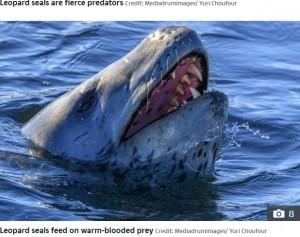 【海外発!Breaking News】ペンギンの首を引きちぎって襲うヒョウアザラシ 南極で捉えた衝撃的な狩りの瞬間