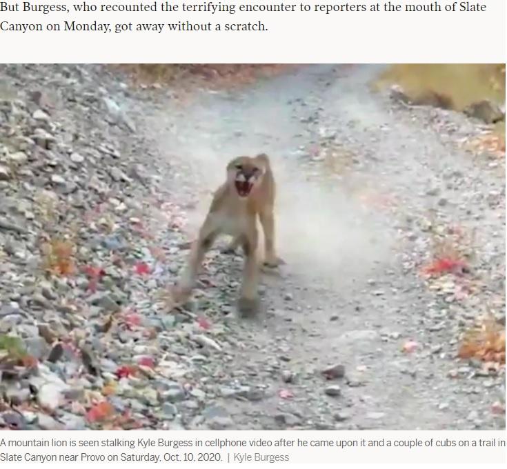 撮影者に威嚇を続けるピューマ(画像は『Deseret News. 2020年10月12日付「'I don't feel like dying today': Utahn describes how he survived 6-minute cougar encounter」(Kyle Burgess)』のスクリーンショット)