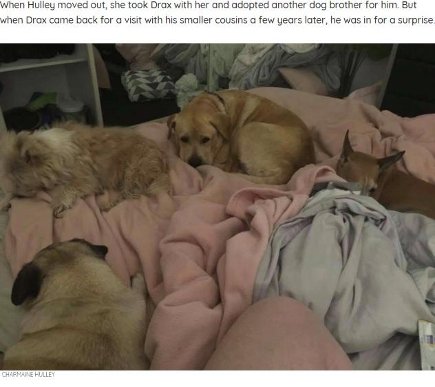きょうだいのように育った犬たちと一緒のドラックス(画像は『The Dodo 2020年10月10日付「Chonky Dog Realizes It's Time To Go On A Diet When He Breaks The Doggy Door」(CHARMAINE HULLEY)』のスクリーンショット)