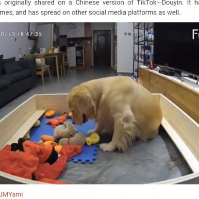 【海外発!Breaking News】「困ったワン」鳴き止まぬ子犬にお気に入りのおもちゃを運び続ける母犬 初子育てに奮闘する姿が愛に溢れている(中国)<動画あり>