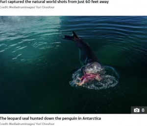 獰猛なことで知られるヒョウアザラシ(画像は『The Sun 2020年10月15日付「RAW NATURE Penguin brutally beheaded in a bloody attack by a leopard seal in incredible nature pictures」(Credit: Mediadrumimages/ Yuri Choufour)』のスクリーンショット)