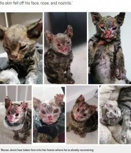 ファイヤー・キャットの回復の様子(画像は『Metro 2020年10月25日付「Adorable kitten who suffered horrific burns to his face makes miracle recovery」(Picture: Jenni Gretom)』のスクリーンショット)