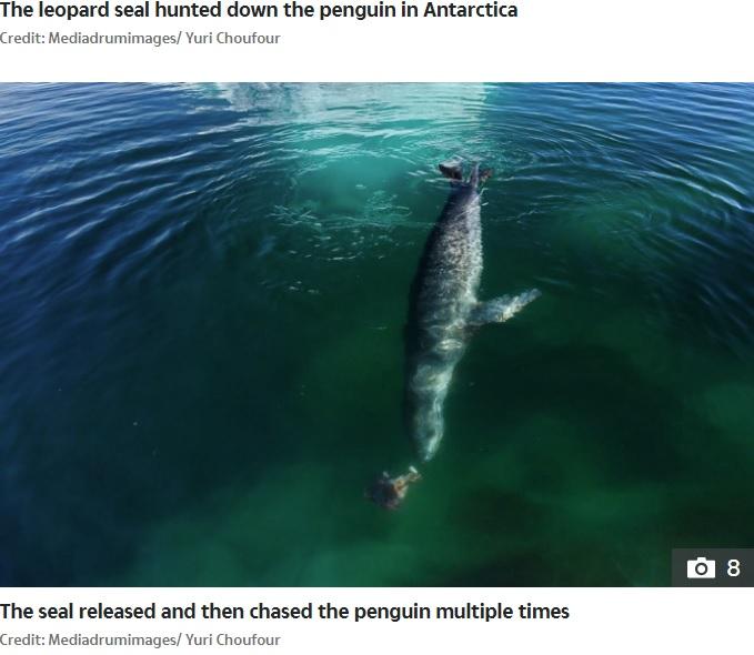一度獲物を放して遊ぶ姿も(画像は『The Sun 2020年10月15日付「RAW NATURE Penguin brutally beheaded in a bloody attack by a leopard seal in incredible nature pictures」(Credit: Mediadrumimages/ Yuri Choufour)』のスクリーンショット)