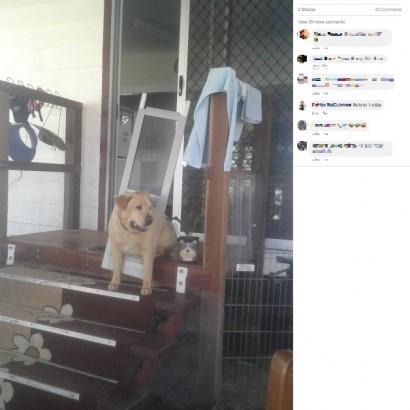 【海外発!Breaking News】太りすぎの犬がドッグドアを破壊 挟まった姿に「ダイエット決定」と飼い主(豪)