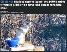 発酵した梨を食べた野生のリス、酔って放心状態に(米)<動画あり>