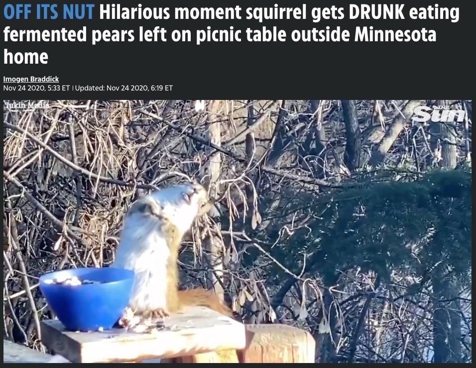 発酵した洋梨を食べて酔ってしまったリス(画像は『The US Sun 2020年11月24日付「OFF ITS NUT Hilarious moment squirrel gets DRUNK eating fermented pears left on picnic table outside Minnesota home」』のスクリーンショット)