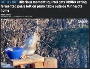 酔ってふらつくリス(画像は『The US Sun 2020年11月24日付「OFF ITS NUT Hilarious moment squirrel gets DRUNK eating fermented pears left on picnic table outside Minnesota home」』のスクリーンショット)