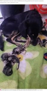 オポッサムを受け入れたジョジョ(画像は『Daily Star 2020年10月29日付「Dog adopts seven baby opossums after their parents tragically die in forest fires」(Image: Newsflash)』のスクリーンショット)
