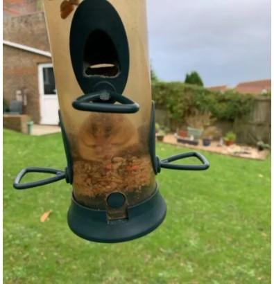 【海外発!Breaking News】「ロックダウン後の姿?」鳥の給餌器に侵入し食べすぎて出られなくなったヨーロッパヤマネ(英)
