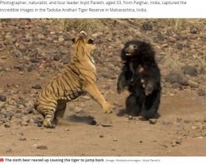 【海外発!Breaking News】噛まれてもベンガルトラに挑むナマケグマ 壮絶な闘いをカメラが捉えた!(印)