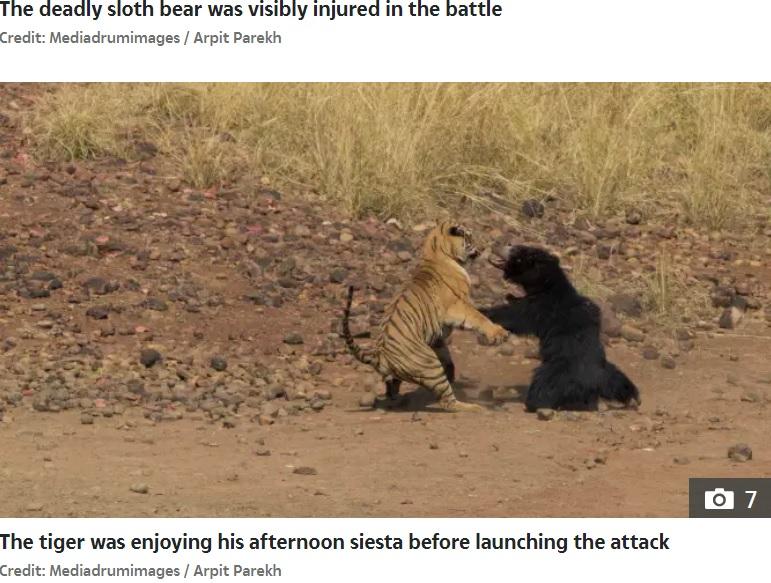 激しく闘う2頭(画像は『The Sun 2020年11月25日付「CLASH OF THE TITANS Dramatic moment Bengal tiger battles a 300lb bear dubbed 'the deadliest in the world' – but who do you think won?」(Credit: Mediadrumimages / Arpit Parekh)』のスクリーンショット)
