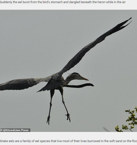 サギから突き出すウミヘビ(画像は『Daily Star Post 2020年11月5日付「Swallowed eel manages to burrow its way out of a heron's throat mid-air to reclaim its freedom」(@22smd/Jam Press)』のスクリーンショット)