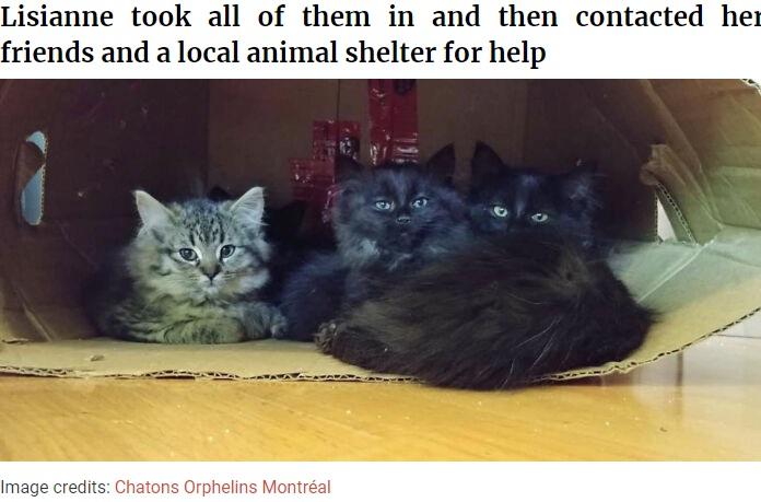 リサーネさんが自宅に招き入れた子猫たち(画像は『Bored Panda 2020年11月16日付「Stray Cat Brings All Her Babies To A Woman Who Gave Her Food And Helped Her」(Image credits: Chatons Orphelins Montréal)』のスクリーンショット)