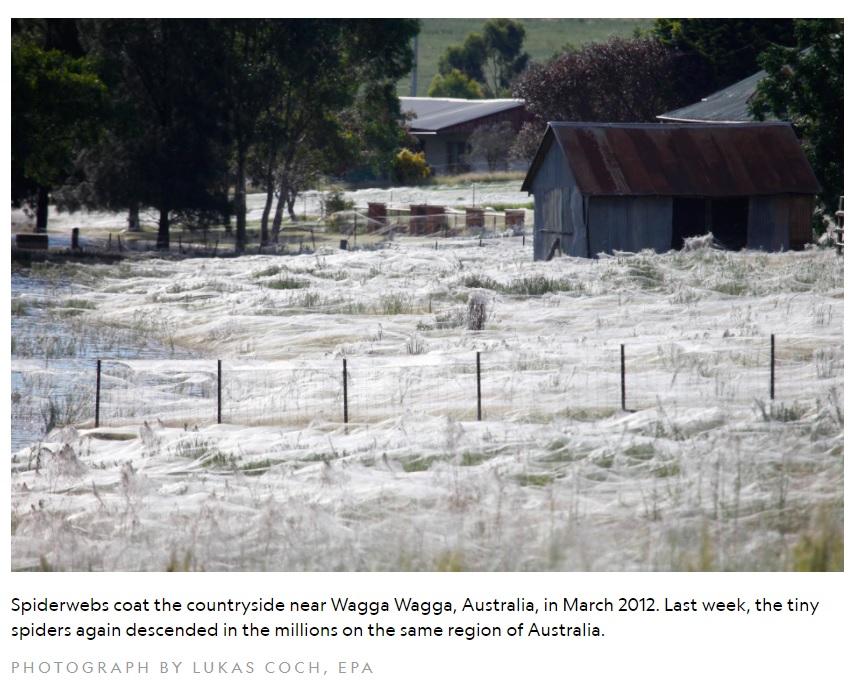 オーストラリアの地方では多く種類のクモを見かける(画像は『National Geographic 2015年5月18日付「Millions of Spiders Rain Down on Australia-Why?」(PHOTOGRAPH BY LUKAS COCH, EPA)』のスクリーンショット)